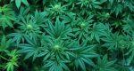 Knowing Medical Marijuana Card and its Benefits